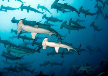 Galapagos Hammersharks